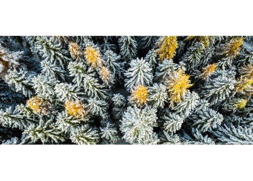Luftaufnahme eines Kiefern- und Orangenlärchenwaldes nach dem ersten Schneefall im Herbst
